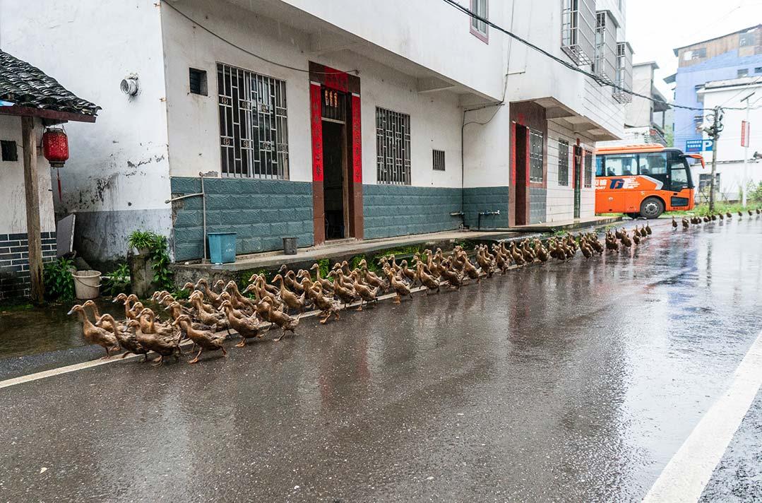 Running of the Ducks