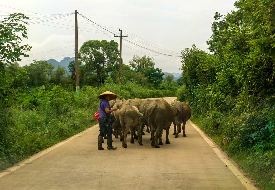 Herding Water Buffalo